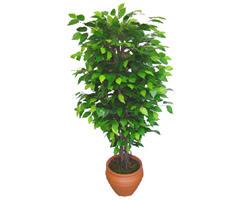Ficus Benjamin 1,50 cm   Kırşehir uluslararası çiçek gönderme