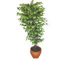 Ficus özel Starlight 1,75 cm   Kırşehir çiçek siparişi vermek