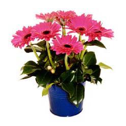 vazo içerisinde gerbera çiçekleri   Kırşehir internetten çiçek siparişi