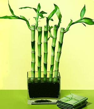 Kırşehir uluslararası çiçek gönderme  Good Harmony Lucky Bamboo camda