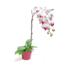 Kırşehir çiçek gönderme sitemiz güvenlidir  Saksida orkide