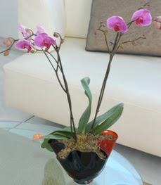 Kırşehir ucuz çiçek gönder  tek dal ikili orkide saksi çiçegi