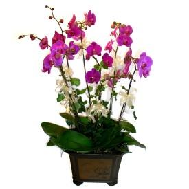 Kırşehir çiçek siparişi vermek  4 adet orkide çiçegi
