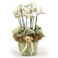 Kırşehir hediye çiçek yolla  3 dal orkide , saksi çiçegi , 3 kök orkide