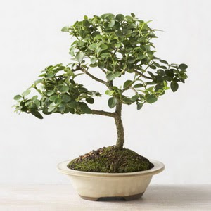 ithal bonsai saksi çiçegi  Kırşehir anneler günü çiçek yolla