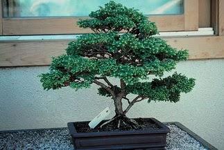 ithal bonsai saksi çiçegi  Kırşehir cicekciler , cicek siparisi
