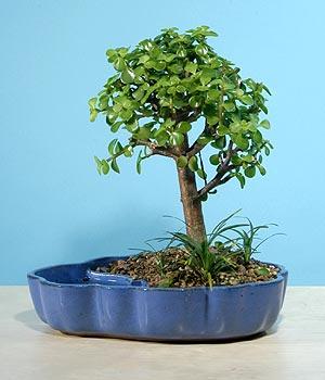 ithal bonsai saksi çiçegi  Kırşehir çiçek siparişi sitesi