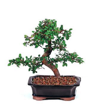 ithal bonsai saksi çiçegi  Kırşehir çiçekçiler