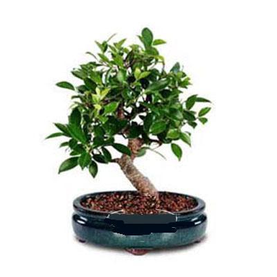 ithal bonsai saksi çiçegi  Kırşehir hediye çiçek yolla