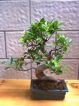ithal bonsai saksi çiçegi  Kırşehir 14 şubat sevgililer günü çiçek
