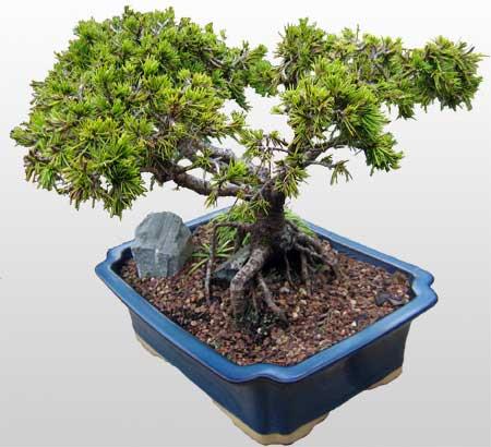 ithal bonsai saksi çiçegi  Kırşehir ucuz çiçek gönder
