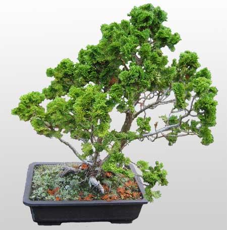 ithal bonsai saksi çiçegi  Kırşehir online çiçekçi , çiçek siparişi