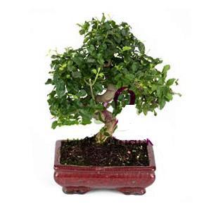 ithal bonsai saksi çiçegi  Kırşehir uluslararası çiçek gönderme