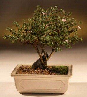 ithal bonsai saksi çiçegi  Kırşehir çiçek online çiçek siparişi