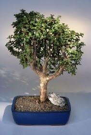 Kırşehir çiçek gönderme sitemiz güvenlidir  ithal bonsai saksi çiçegi  Kırşehir çiçek siparişi sitesi