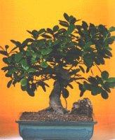 Kırşehir çiçek yolla  ithal bonsai saksi çiçegi  Kırşehir internetten çiçek satışı