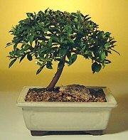 Kırşehir çiçek satışı  ithal bonsai saksi çiçegi  Kırşehir çiçek siparişi vermek