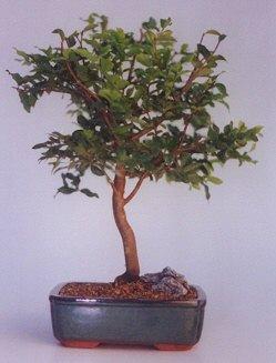 Kırşehir çiçek satışı  ithal bonsai saksi çiçegi  Kırşehir uluslararası çiçek gönderme