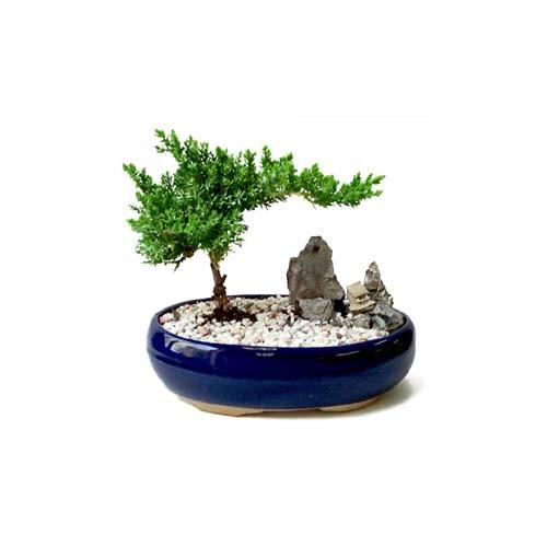 ithal bonsai saksi çiçegi  Kırşehir çiçek gönderme sitemiz güvenlidir