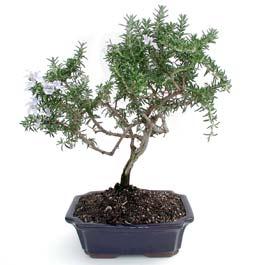 ithal bonsai saksi çiçegi  Kırşehir çiçek yolla