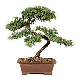 ithal bonsai saksi çiçegi  Kırşehir çiçek yolla , çiçek gönder , çiçekçi