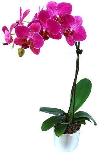 Kırşehir ucuz çiçek gönder  saksi orkide çiçegi