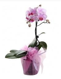 1 dal pembe orkide saksı çiçeği  Kırşehir çiçek servisi , çiçekçi adresleri