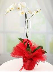 1 dal beyaz orkide saksı çiçeği  Kırşehir kaliteli taze ve ucuz çiçekler