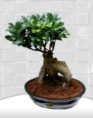 saksı çiçeği japon ağacı bonsai  Kırşehir çiçek servisi , çiçekçi adresleri