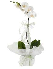1 dal beyaz orkide çiçeği  Kırşehir çiçekçiler