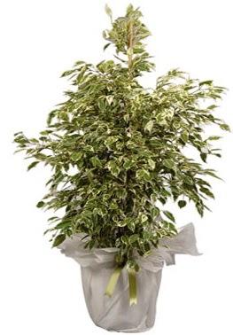 Orta boy alaca benjamin bitkisi  Kırşehir çiçekçi mağazası