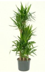 7 li yucca saksı bitkisi  Kırşehir hediye sevgilime hediye çiçek