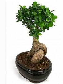 Bonsai saksı bitkisi japon ağacı  Kırşehir hediye çiçek yolla