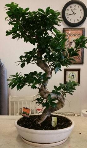 100 cm yüksekliğinde dev bonsai japon ağacı  Kırşehir online çiçekçi , çiçek siparişi