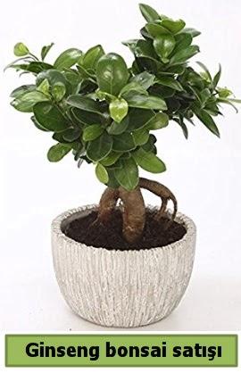 Ginseng bonsai japon ağacı satışı  Kırşehir çiçek yolla