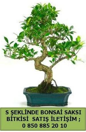 İthal S şeklinde dal eğriliği bonsai satışı  Kırşehir çiçek gönderme sitemiz güvenlidir