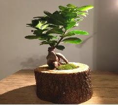 Doğal kütükte Bonsai japon ağacı satışı  Kırşehir çiçekçi mağazası