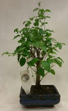 Minyatür bonsai japon ağacı satışı  Kırşehir çiçek yolla