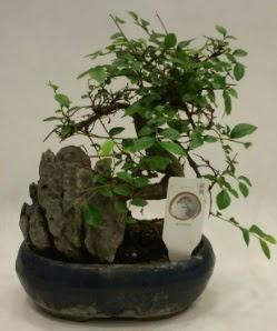 İthal 1.ci kalite bonsai japon ağacı  Kırşehir çiçek gönderme