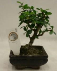Küçük minyatür bonsai japon ağacı  Kırşehir çiçek gönderme sitemiz güvenlidir