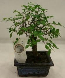 Minyatür ithal japon ağacı bonsai bitkisi  Kırşehir çiçek gönderme