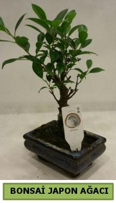 Bonsai japon ağacı saksı bitkisi  Kırşehir hediye sevgilime hediye çiçek