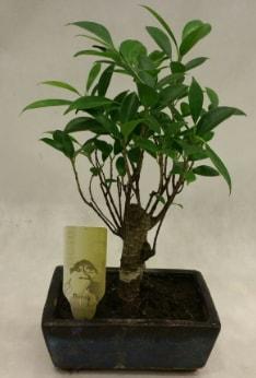 Japon ağacı bonsai bitkisi satışı  Kırşehir çiçek yolla