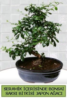 Seramik vazoda bonsai japon ağacı bitkisi  Kırşehir hediye çiçek yolla