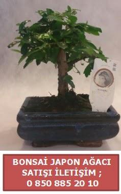 Japon ağacı minyaür bonsai satışı  Kırşehir çiçek gönderme