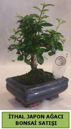 İthal japon ağacı bonsai bitkisi satışı  Kırşehir çiçek yolla