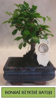 Bonsai ithal görsel minyatür japon ağacı  Kırşehir çiçek satışı