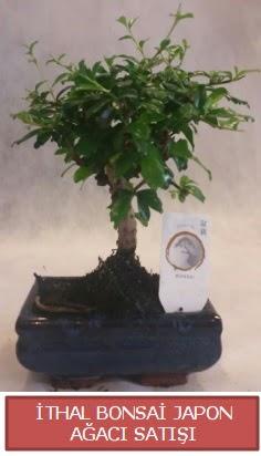 İthal küçük boy minyatür bonsai ağaç bitkisi  Kırşehir çiçek yolla