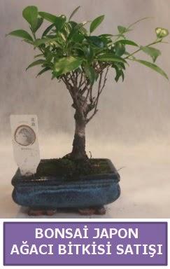 İthal Bonsai japon ağacı bitkisi satışı  Kırşehir online çiçekçi , çiçek siparişi