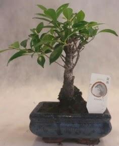 Bonsai ağacı japon ağaç bitkisi  Kırşehir İnternetten çiçek siparişi